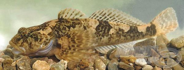 Nem egy óriás termetű halról van szó