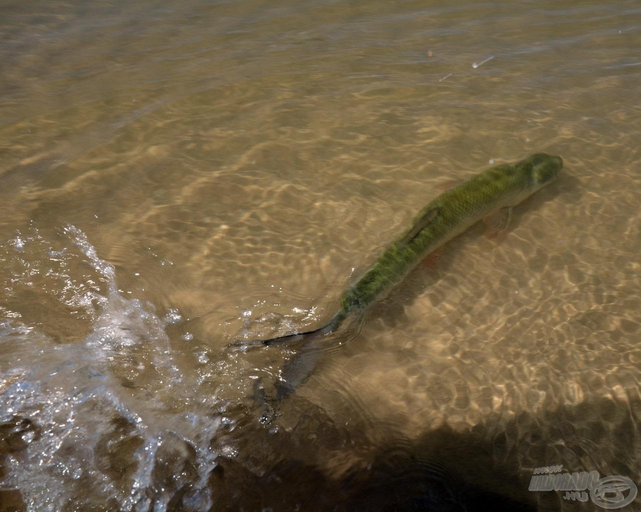 Természetesen valamennyi balin amilyen gyorsan jött, olyan gyorsan száguldhatott is vissza a vízbe kergetni tovább a sneciket