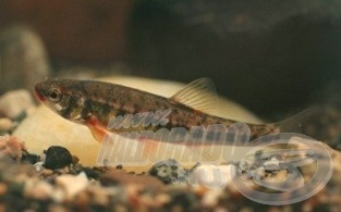 … amelynek gyakori hala a fürge cselle (Nagy Lajos fotói)