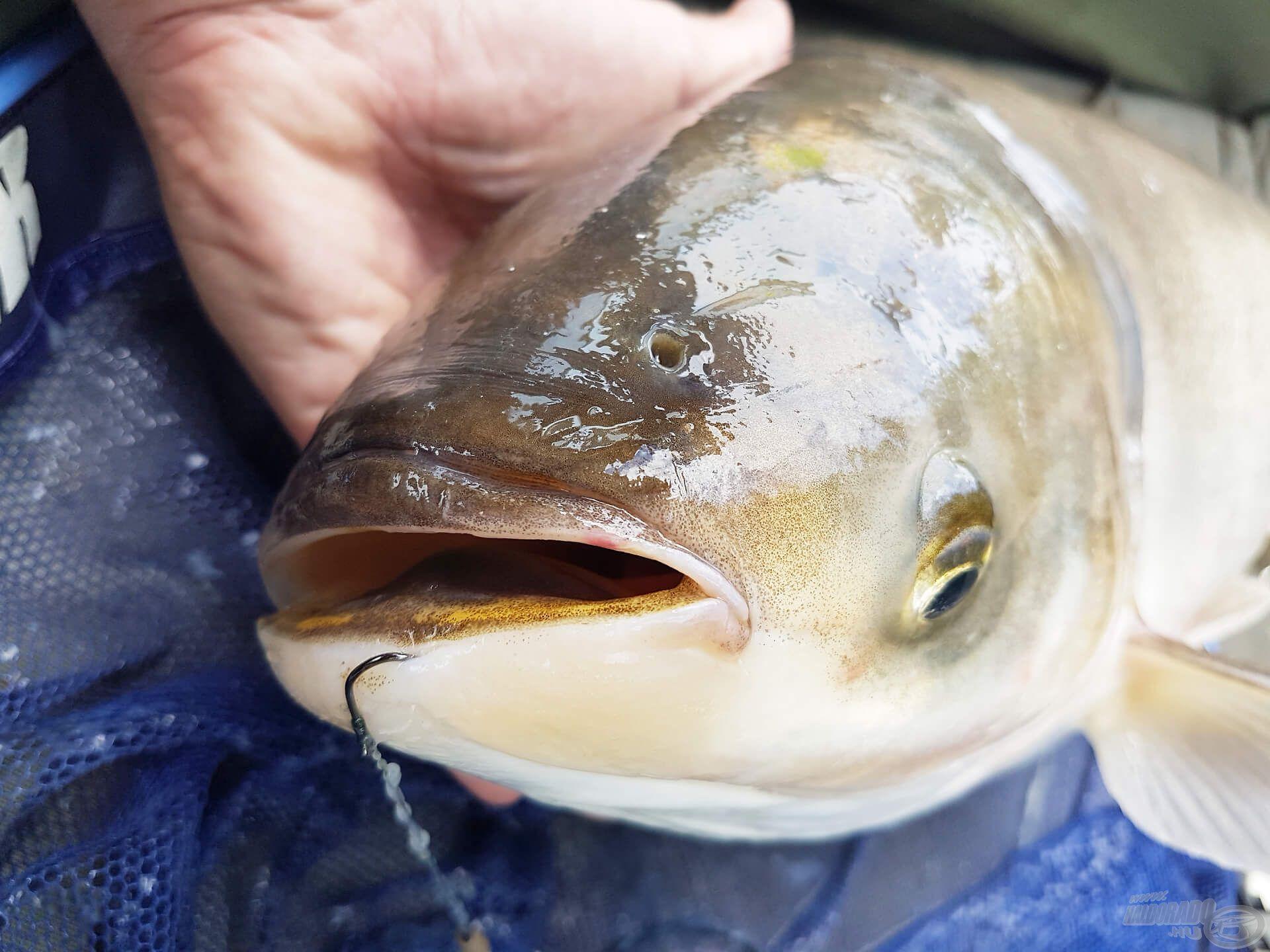 Sokak szerint a busa csúnya hal, én inkább érdekesnek mondanám :)