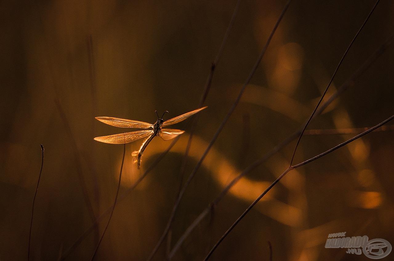 Este szárnyra kélő hangyaleső