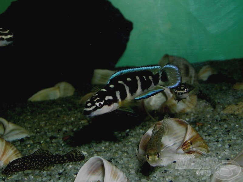 Fiatal foltos torpedósügér - <i>Julidochromis transcriptus</i>
