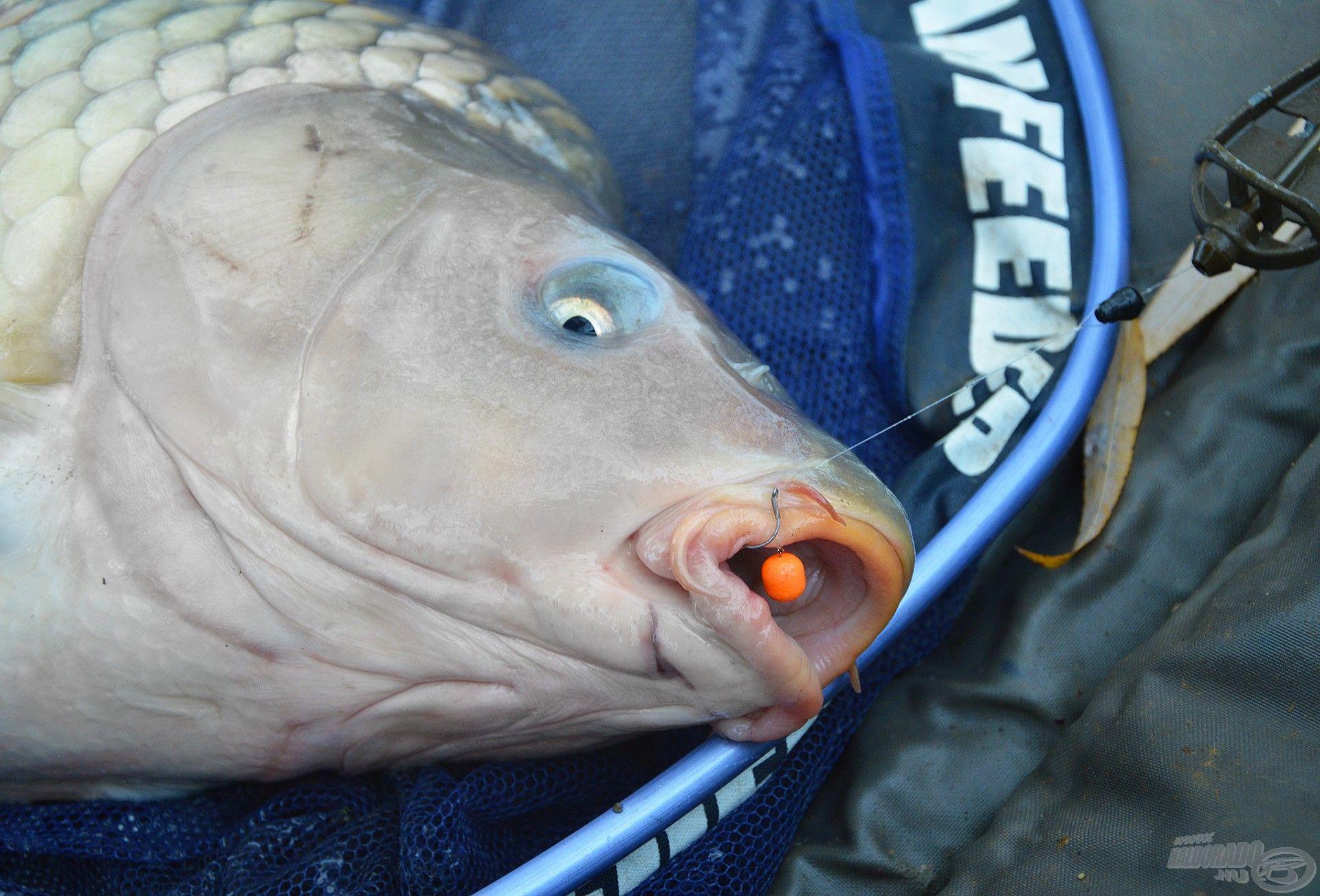 Vékony monofil előkével is lehet nagy halakat fogni, ha a végszerelék és a felszerelés összhangban van