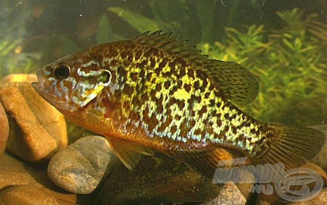 Yellow sunfish - naphal (Lepomis gibbosus)