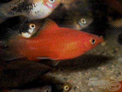 Az amatőr akvarista I. - Elevenszülő fogaspontyok
