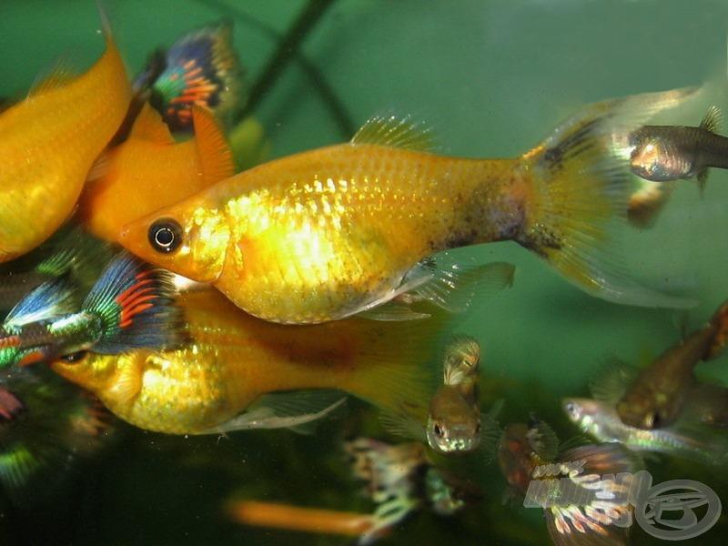 Borostyán molli - az utóbbi években megjelent, sárga alapszínű, esetleg kisebb-nagyobb fekete foltokkal tarkított változat