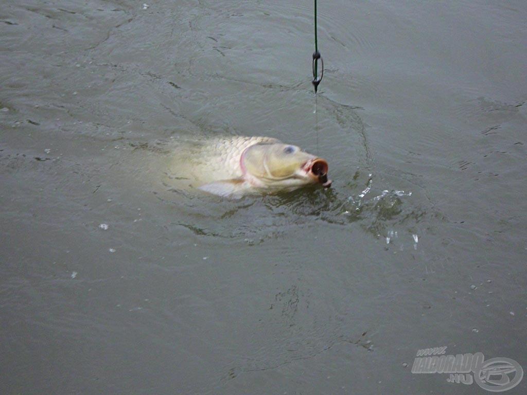 """Az """"óriás hal"""" amit nem sikerült megszákolnunk"""
