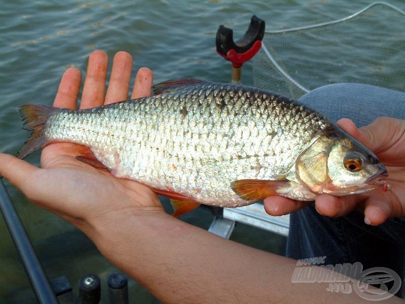 Döbbenetes méretű, 50-70 dekás bodorkák tették még színesebbé a horgászatot…