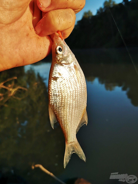 Amikor arról beszélek, hogy elaprózódik a hal, akkor valóban aprókra gondolok