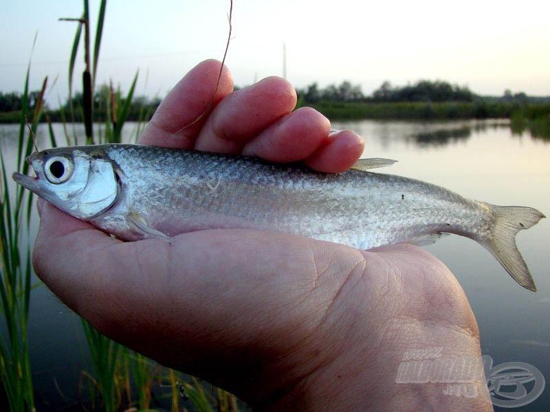Nekem első halnak egy sneci jutott, no de mennyire örülnénk horgászversenyen 100 ilyen derék küsznek…