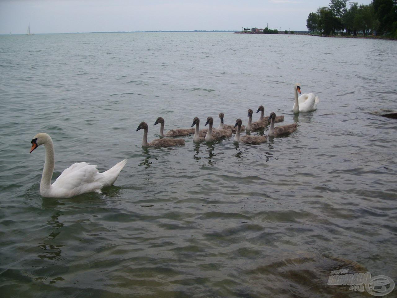 Autentikus balatoni vízimadaraknak számítanak a bütykös hattyúk. Ez a család a part közelében keresgélt táplálék után, miközben a szülők gondosan óvták kicsinyeiket. Nem is örültek nekem, mikor a közelükbe merészkedtem… :-)