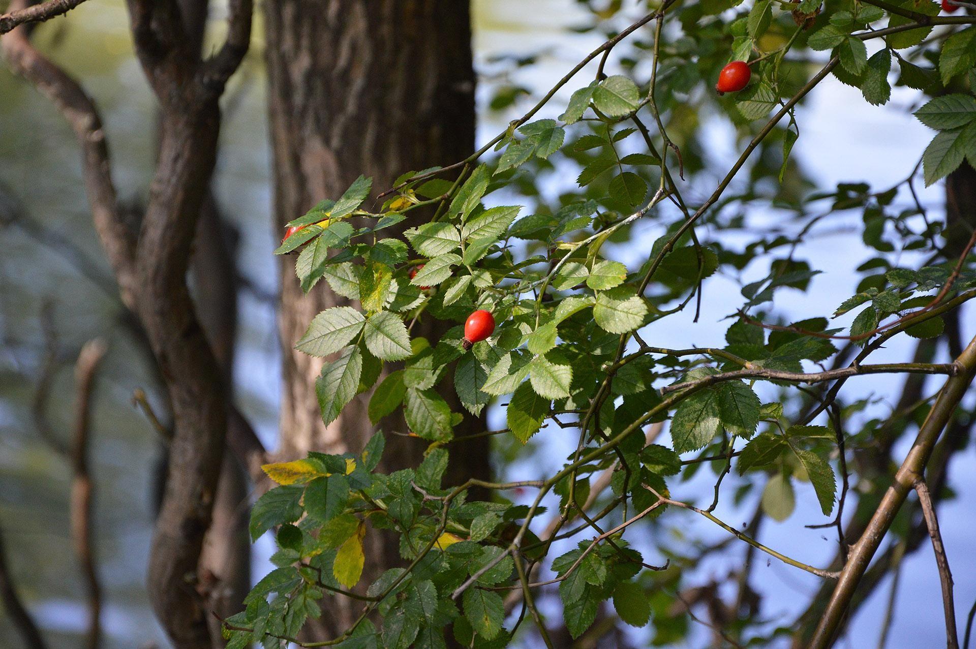 Az őszbe forduló természet egyik jele a csipkebogyók érése