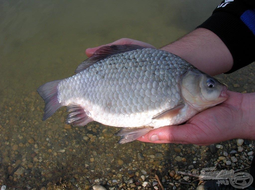 A nap első hala ez a szép kárász