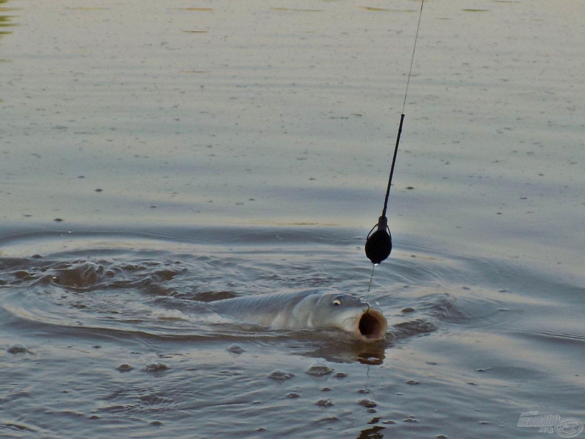 A horgászok döntő többsége használja már a method technikát, pont emiatt fontos, hogy mit is kínálunk fel a halak számára. Ugyanis, ha valamiért rendre a mi végszerelékünket húzza el a hal egy egyenletesnek mondható placcon, akkor az bizony a megfelelő etetőanyag-csali kombinációnak köszönhető!