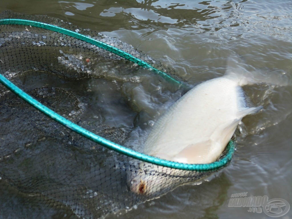 Reggel ilyen szép halak siklottak édesapám merítőjébe