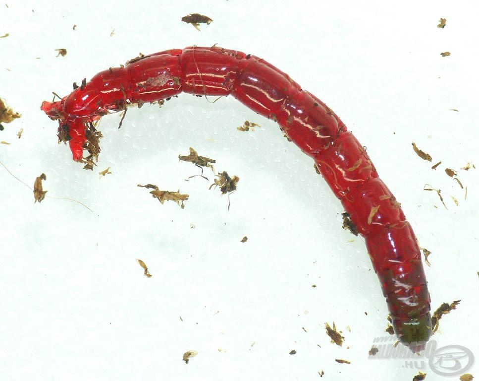 A tűzőszúnyog az árvaszúnyog lárvája, amely közhiedelemmel ellentétben nem csíp (miután kifejlett rovar lesz belőle). Mérete 1-1,5 cm között van
