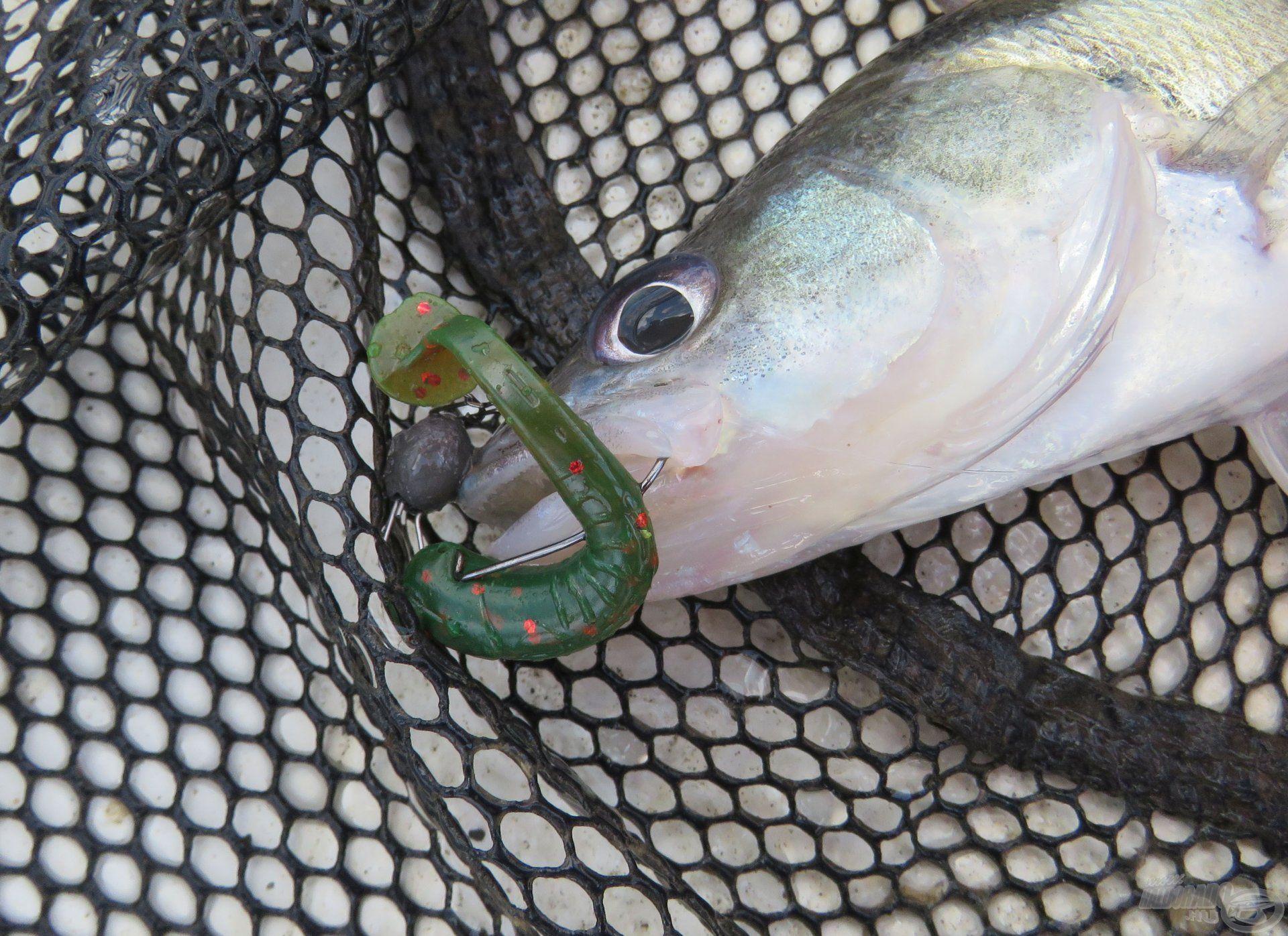A merítő szák használata erősen ajánlott volt, hiszen a halak gyakran nagyon gyengén akadtak meg, könnyen kirázták magukból a horgot a fárasztás során