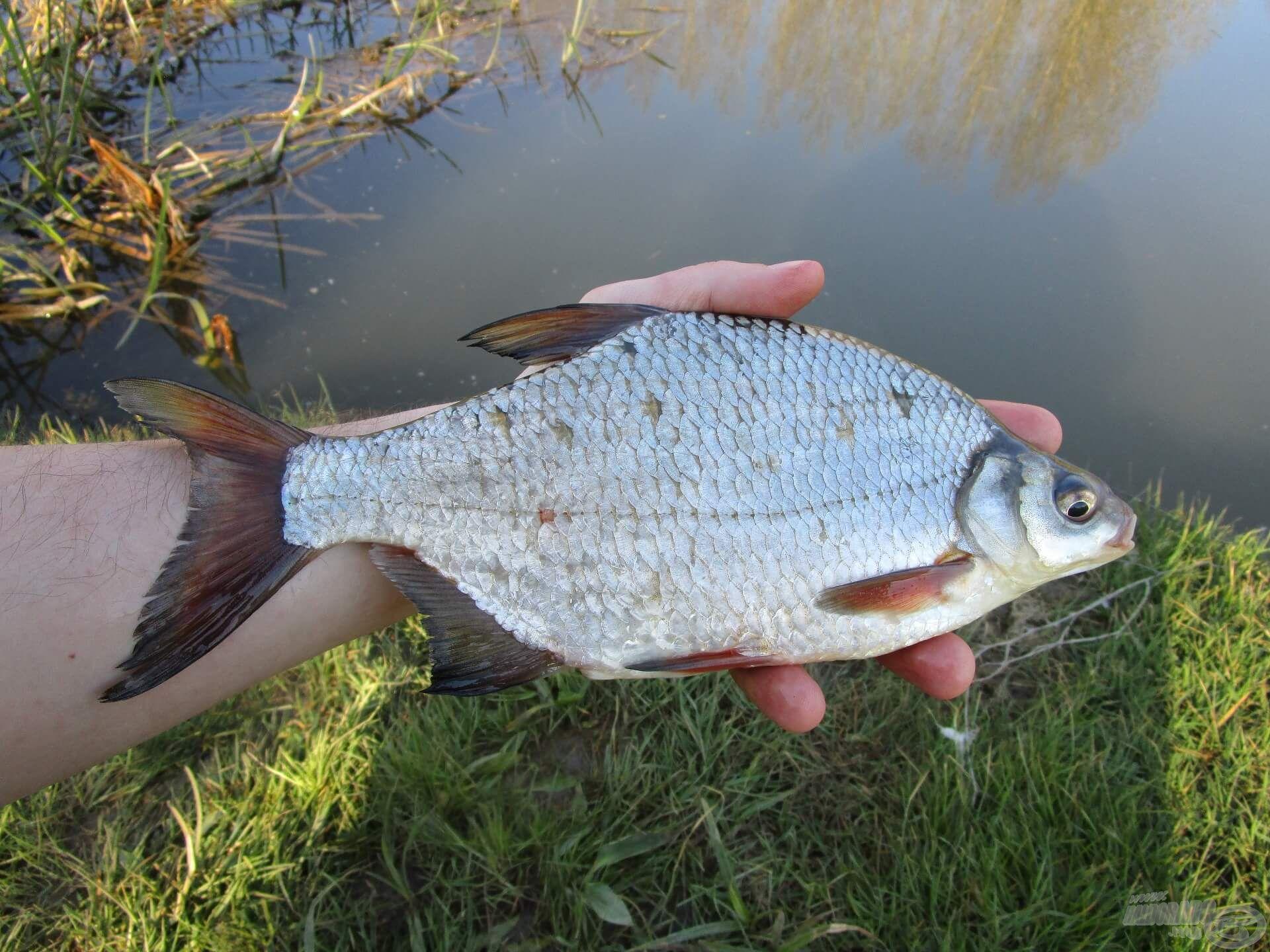 A nap legnagyobb hala. Az idősebb példányok úszói általában sötétebbek