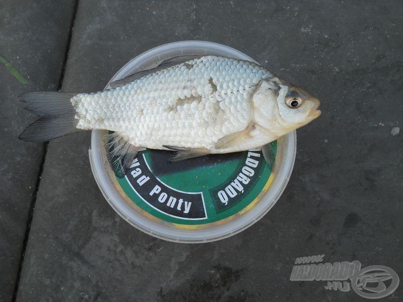 … és még annál is kisebb halak voltak az állandó jelentkezők