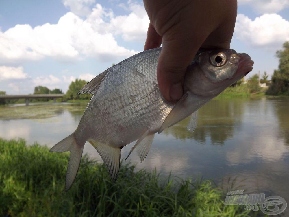 A horgászat elején általában a kisebb dévérek…