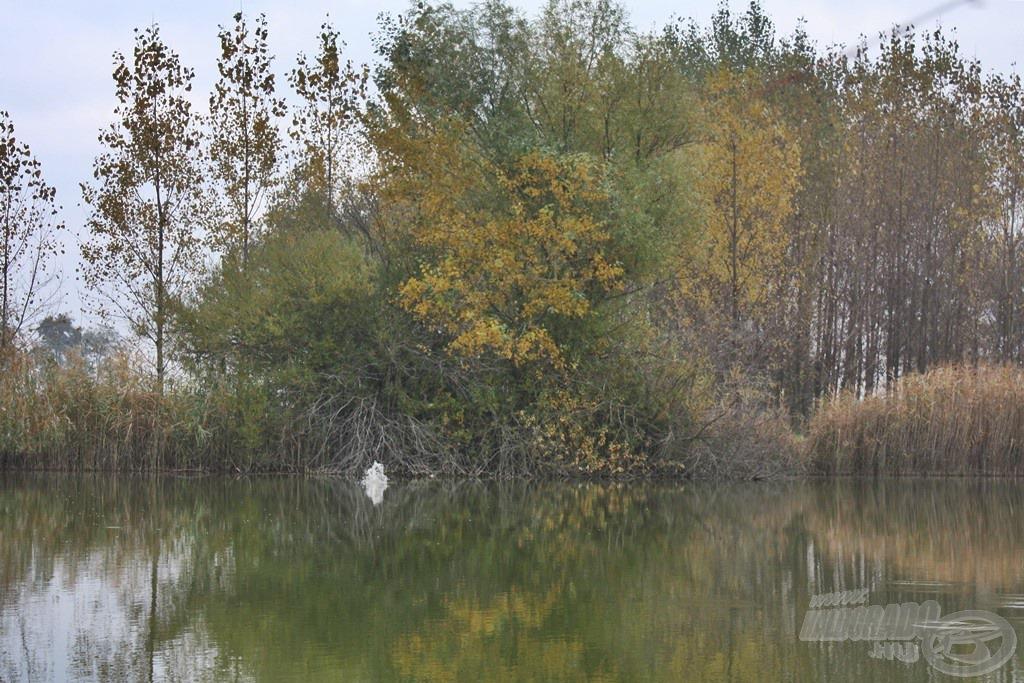 A horgászhelyemmel szemben lévő bedőlt fa környékén gyakran láttam sejtelmes fordulásokat, így nem lehetett kérdés, hogy teszek egy próbát a közelében
