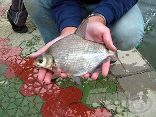 A wuhani hal életnagyságban. Állítólag több kilósra is megnő. Ez igaz lehet, mert sütve láttunk belőle szép példányt is