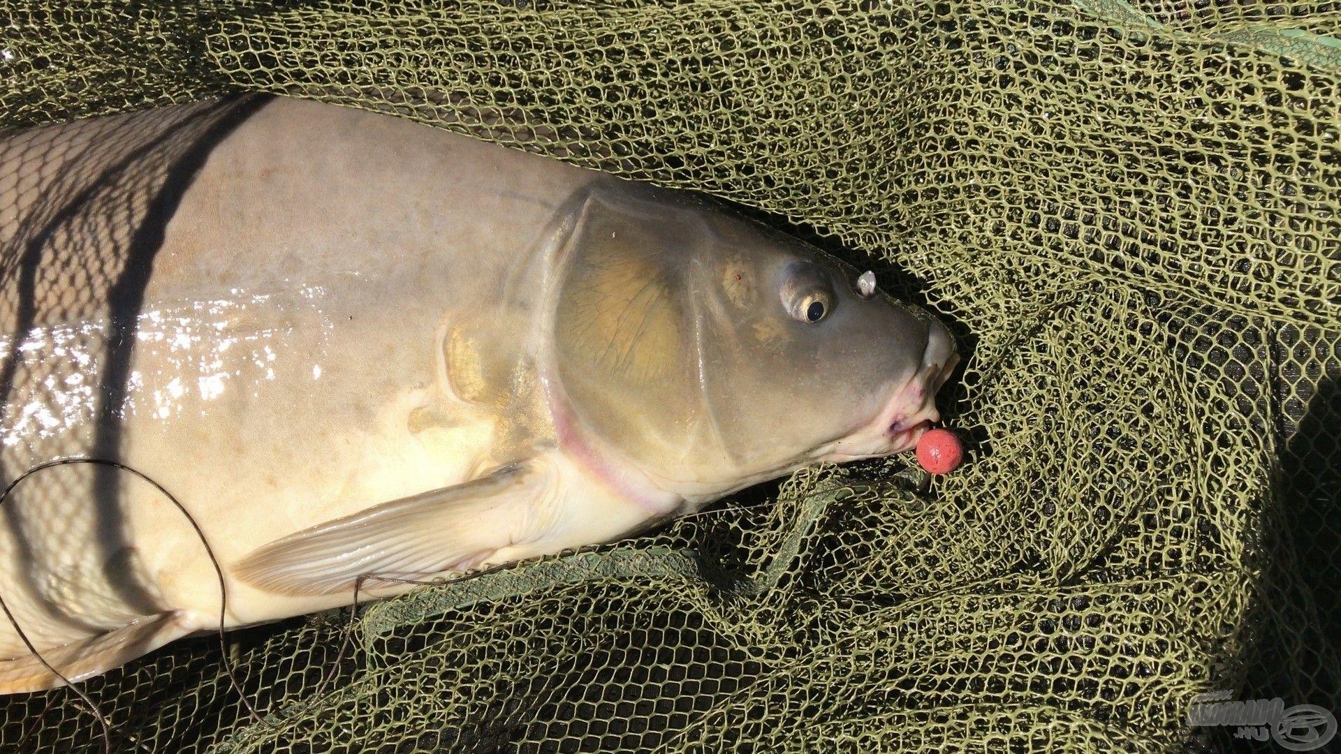 Big Fish bojlira éhezett meg az első pontyom
