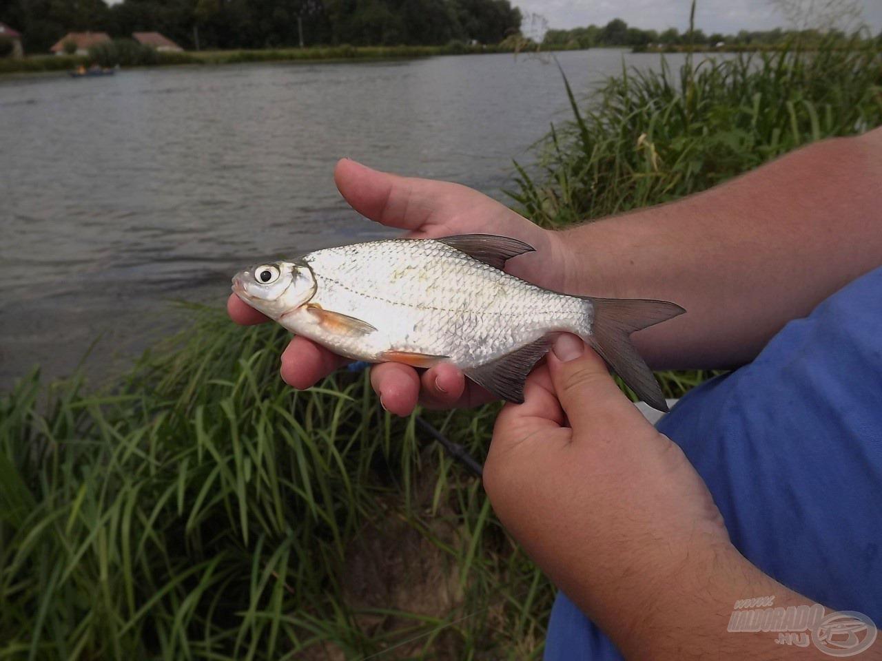 A horgászat elején a karikakeszegek…