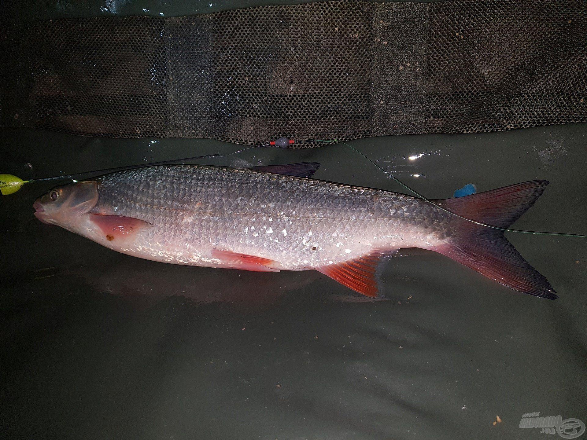 Az esti horgászat folyamán paducokat…