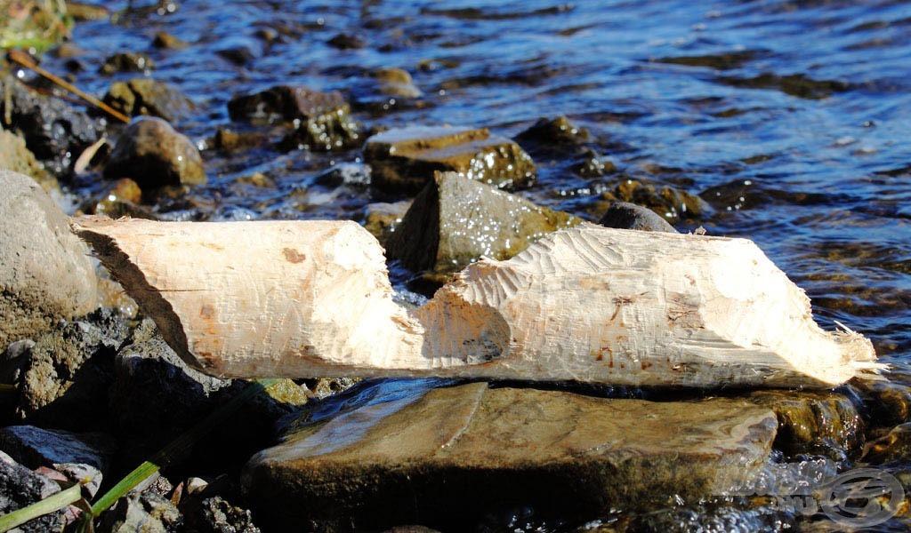 A természet is ad kiegészítő képeket az írásunk további színesítéséhez, például ez az unatkozó hód által megdolgozott fadarab…