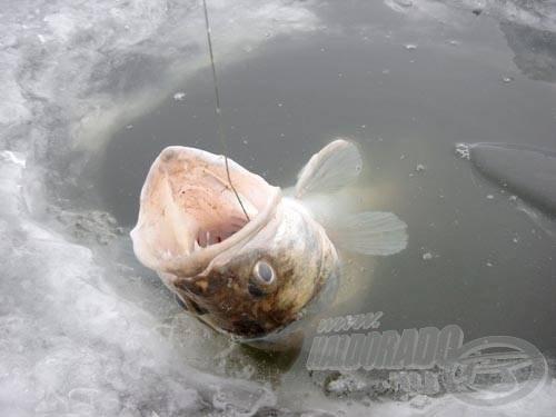 A megakasztott süllőt egy mozdulattal, könnyedén kicsúsztathatjuk a jégre