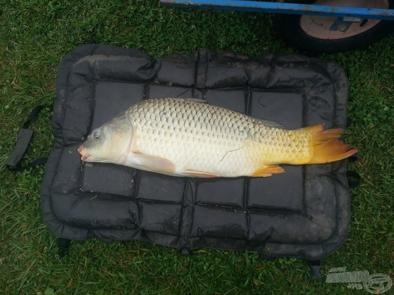 Egy 10,40 kg-os ponty a balatonfüredi Dobogó-tóból