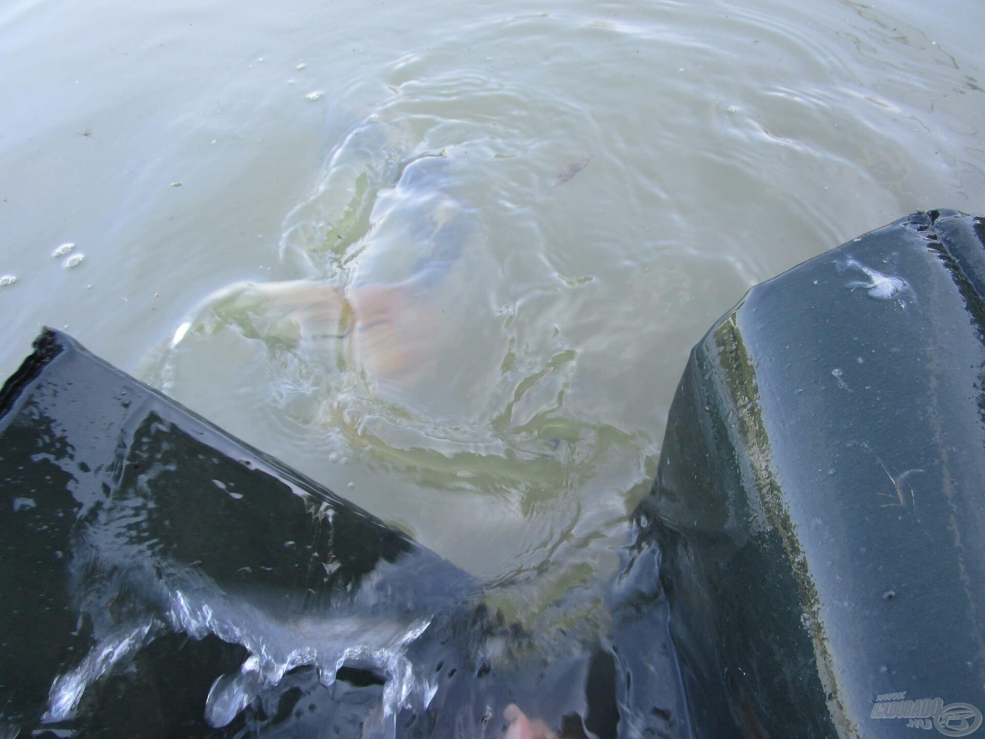 A tóból fogott koi pontyot a lehető leghamarabb vissza kell engedni!