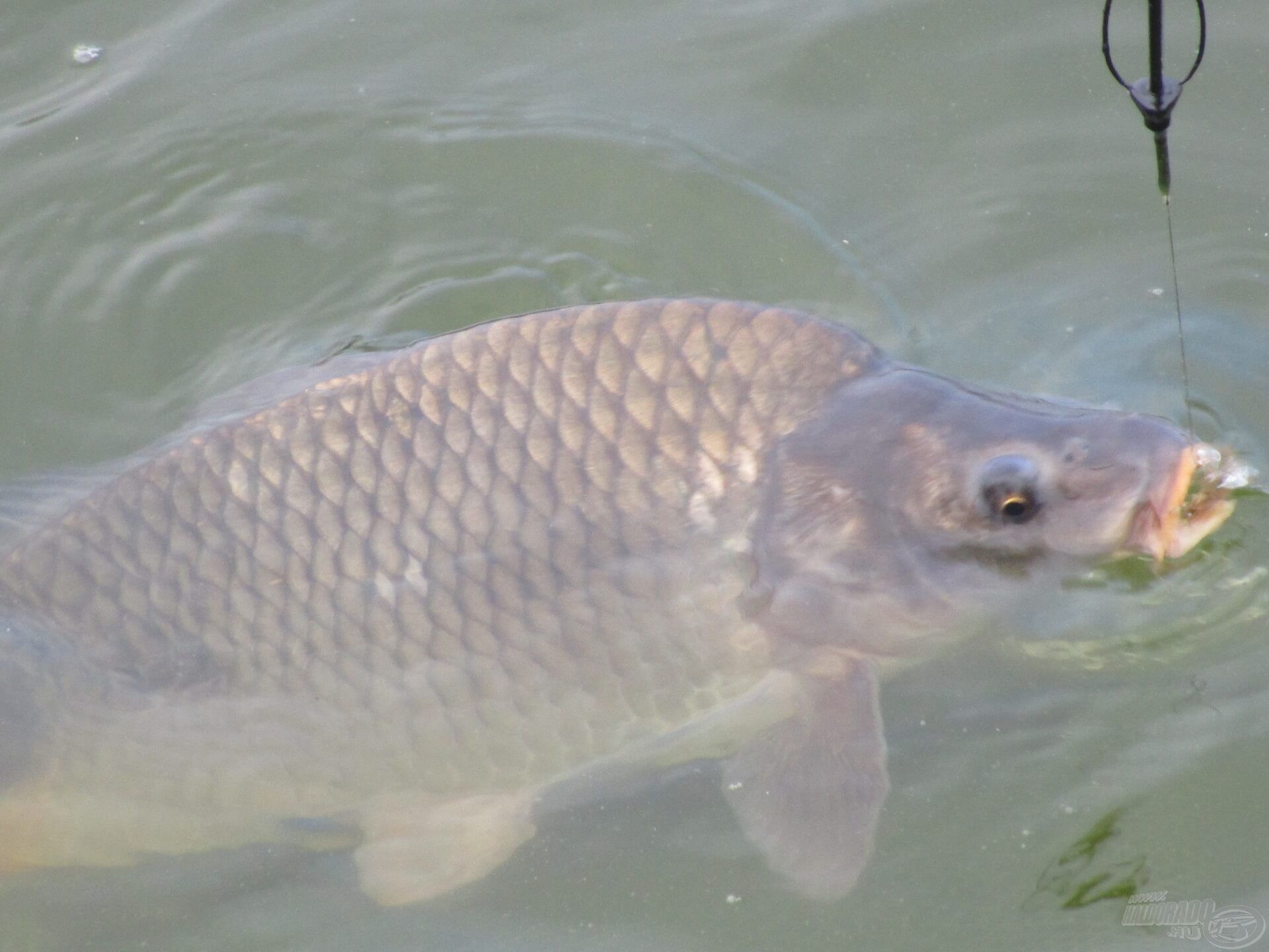 Egy újabb ponty fárasztásával folytattam a horgászatot
