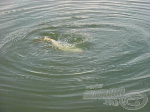 A nap utolsó hala kisebb méretét harciasságával pótolta