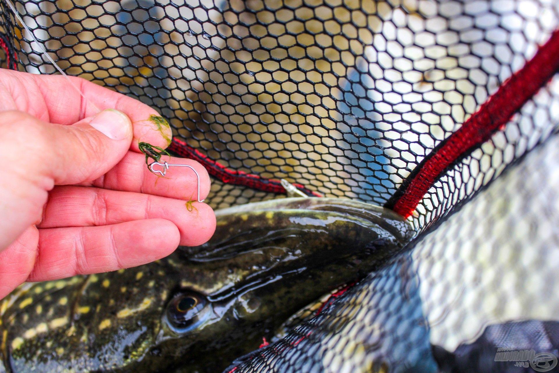 Csuka a merítőben: szájából kikandikál a villantó eleje, de a kapocs már elengedte – nem sokon múlt, hogy meglett ez a hal!