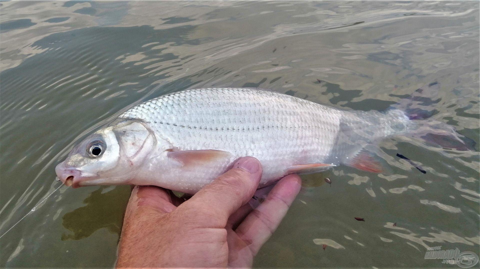 Szák hiányában – ha derékig a vízben állunk – kíméletesen csúsztassuk a kezünkbe a kifárasztott halat
