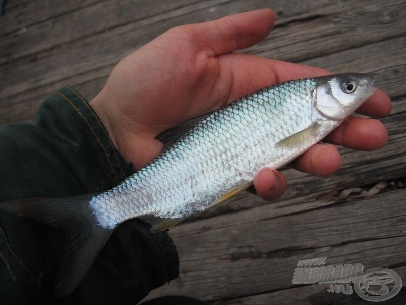 Ez a hal azonban nagyságtól függetlenül talán a legszebbek egyike