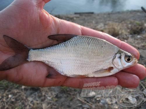 Az újpesti korai keszegezés leggyakoribb hala a karikakeszeg volt, ekkora átlagméretben