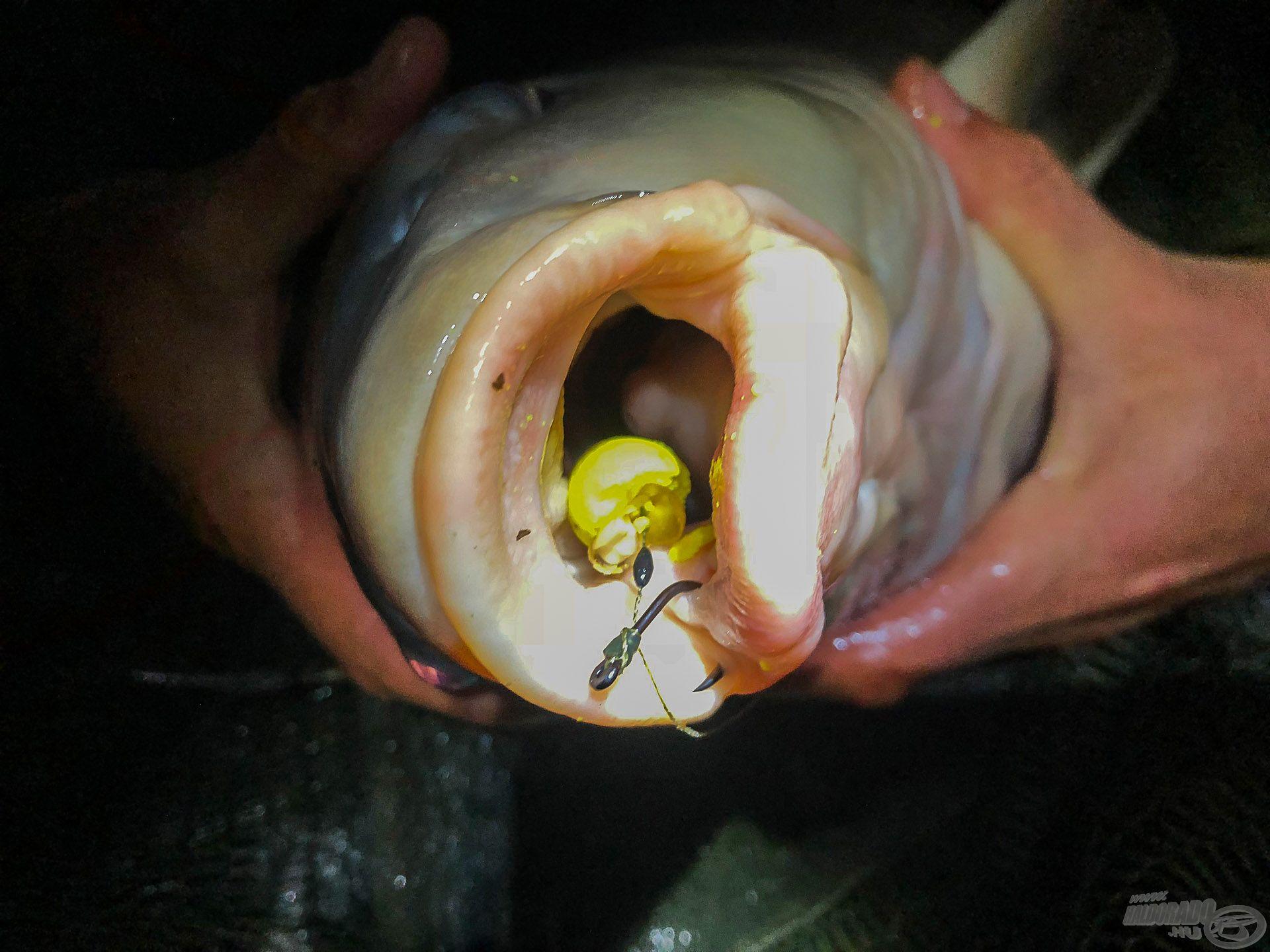 A csali, illetve annak maradványai a hal szájában