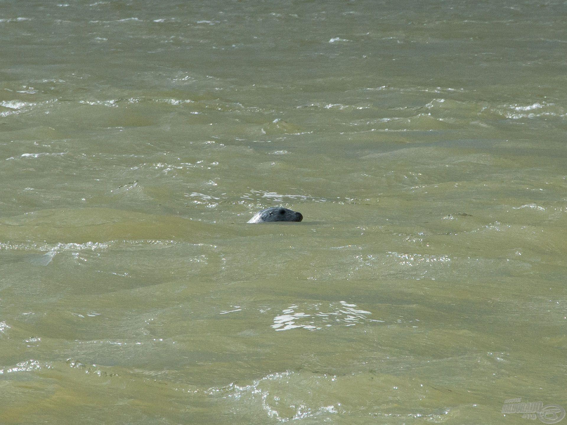 Magyar szemnek meglepő vendég a vízfelszínen: egy fóka, az óceánból úszott fel idáig!