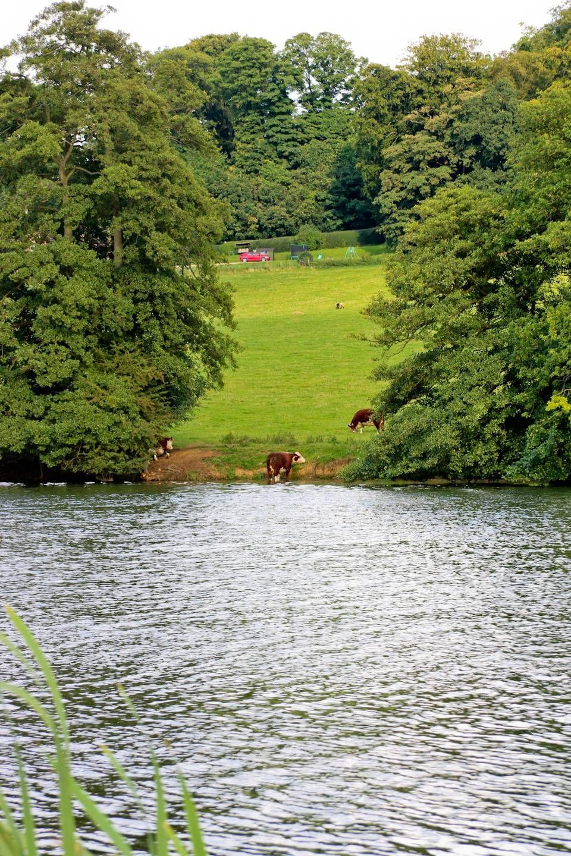 Rengeteg tehén és birka legel a tó partján