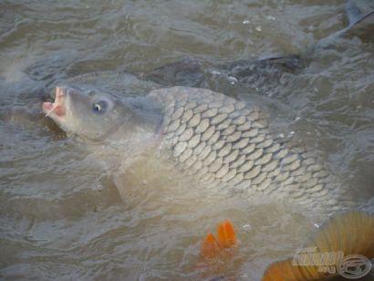 XII. Maconka Kupa - Több, mint 8000 kg hal a mérlegen!